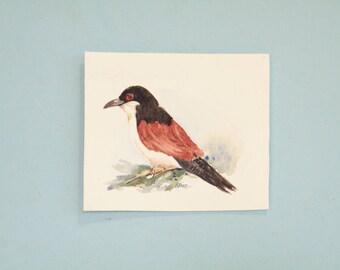 Burchells Coucal,  original watercolor,  South African Bird,  miniature bird art,  watercolor aceo,  bird illustration
