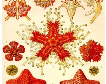Starfish Print, Ernst Haeckel Starfish Art, Art Nouveau Coastal Art, Nautical, Sea Life, Poster, Beach House Decor, Natural History Wall Art