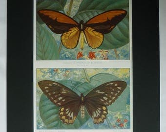 1901 Antique Wallace's Golden Birdwing Print, Indonesian Gift, Butterfly Decor, Available Framed, Maluku Art, Old Victorian Natural History