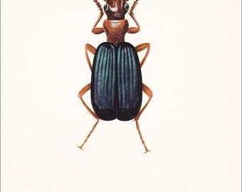 vintage beetle insect art print ground beetle Brachinus crepitans home decor Anthropod 8x10 inches