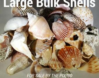 Bulk Shells - Large, Assorted - per lb