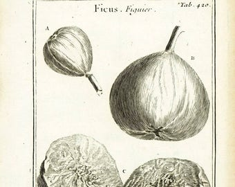 1797 Antique Common Fig Print Fruit Flower Ficus carica Tree Botanical Natural History Wall Home Decor