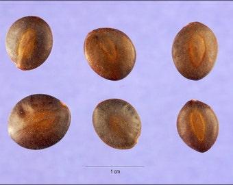 16x24 Poster; Acacia Greggii Seeds