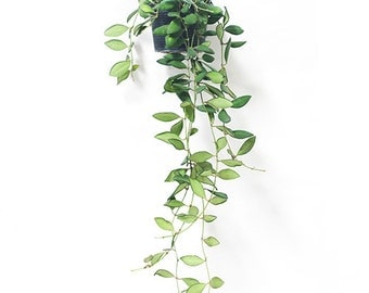 Easy Grow House Plants Hoya pubicalyx 'Little Leaf' by Joinflower Joinfolia