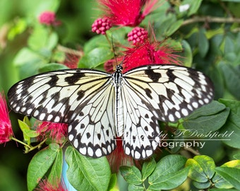 Paper Kite Butterfly, Nature Photography, Fine Art Print, Macro Photography, Fine Art Photography
