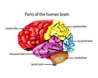 human brain print, brain anatomy, human anatomy, Anatomical brain print, Neurology poster, Medical student gift, medical print