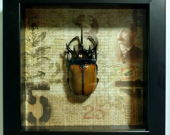 REAL Framed Eupatorus gracilicornis Beetle from Thailand
