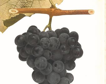 Fresh Fruit Grapes -  a print - Beautiful gift for florists fruit lovers botanical - poster print 4 sizes framable