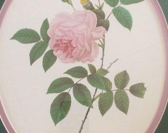 Pierre-Joseph Redoute, Rosa Indica, Botanical Print
