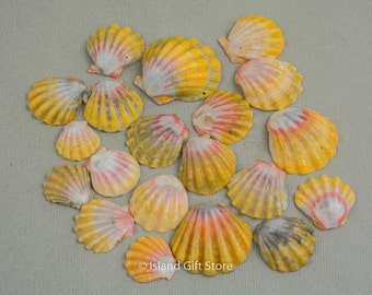 Set of 20 Sunrise shells from Hawaii, Natural Color, Decoration, Craft Supplies