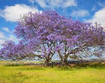 Jacaranda Semi Seeds Tree