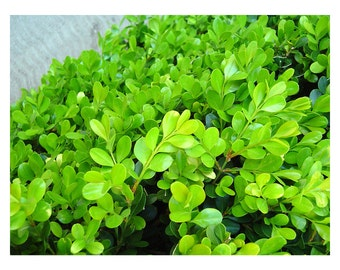 """Japanese Boxwood, Buxus micropylla japonica, Landscaping, Privacy Hedge, Privacy Shrub, Evergreen, Ornamental Hedge, 12 plants 2.5"""" pot"""