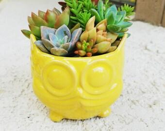 Owl-dorable yellow owl pot with living succulents arrangement