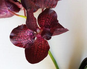 Cymbidium - Orchid Plant. Ships FREE in USA & Canada