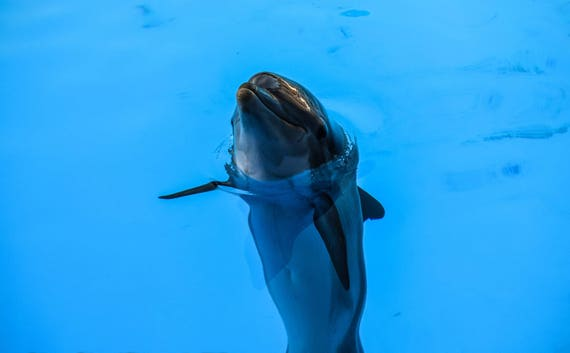 Dolphin Photograghy, Dolphin Print, dolphin wall decor, Wall Art, Wall Decor, Animal Photography, Ocean Photography, Nature photography