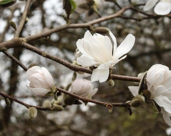 Magnolia Tree, Magnolia Flowers, Flower Photography, Flower Photos, Flower Prints, Spring Decor, Home Decor, Ireland Decor, Digital Download