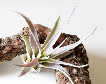 SALE 40% OFF Tillandsia Harrisii Air Plant