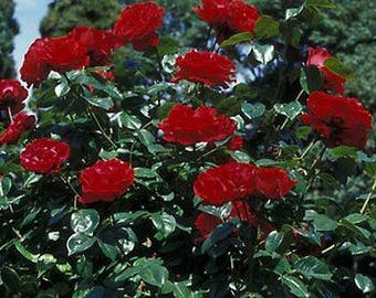 Pack of  50 fresh seeds  New Dark Red Climbing Rose Plant Seed Strong Fragrant Flowers