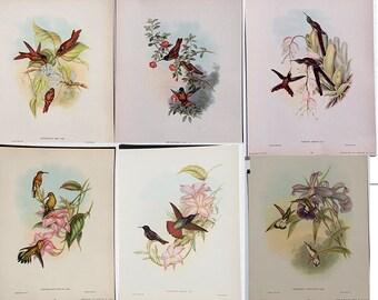 John Gould Hummingbird color Lithographs Circa 1940 from Original Plates