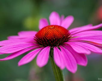 20 seeds Echinacea