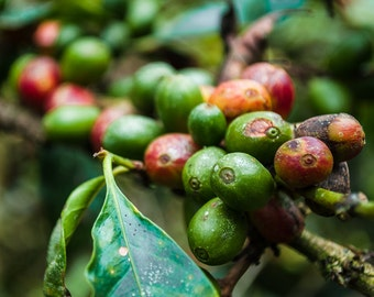 travel photography, panama, color, fine art photography, boquete, coffee beans