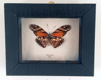 Real butterfly framed - Dione juno