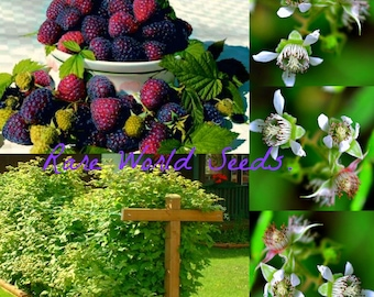 HARDY! Raspberry 'Purple Nova' (Rubus hybrid) Beautiful and Delicious! SEEDS.