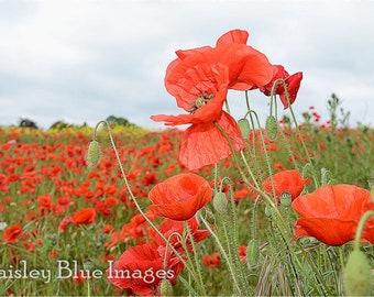 Instant digital download, photo, 1 jpg included. poppies, garden, English garden, beautiful poppy, poppy field, red poppy, photography