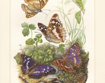 Vintage lithograph of purple emperor, lesser purple emperor butterflies from 1956