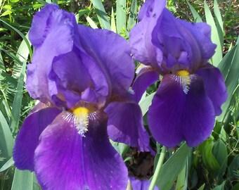 Mixed Colors Bearded Iris Rhizomes