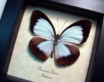 Rare Real Framed Pareronia Aviena Powder Blue Pieridae Butterfly 8394