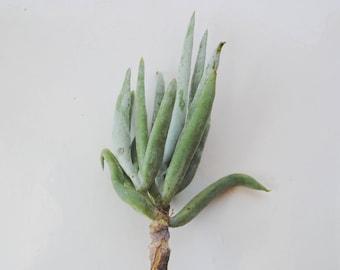Cotyledon Orbiculata succulent plant cutting Chalk Fingers Grey chalk Sticks
