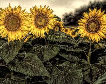 Kansas Sunflower - Sunflower - Kansas State Flower - Sunny - Sunshine - Yellow Flowers - Fine Art Photography