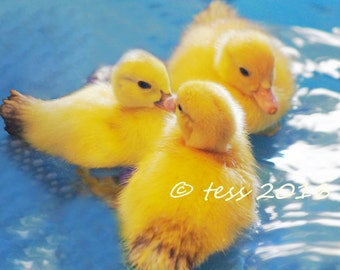 Digital Download - Baby Ducks - Duckling Nursery Print - Digital Download Photography - Photography Nursery Art
