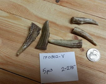 Gnarly Deer Antler Points Tips- 2-2.75 inches- 5 pcs- Lot No. 170302-V