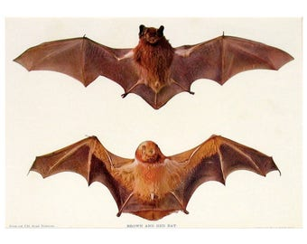 c. 1898 - BROWN & RED BATS lithograph - original antique print - vampire bats Chiroptera pipistrelle chauve souris for halloween