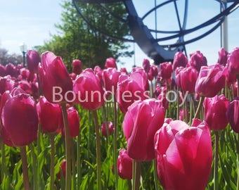 Deep Pink Fuchsia Tulips Photo Print, Pella Iowa, Dutch 8x10