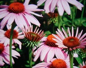 Perennial - PURPLE Coneflower