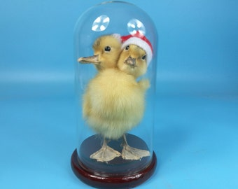 taxidermy duck  two head freak duckling mounted in glass dome ,christmas gift