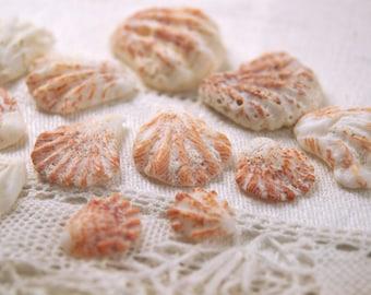 12 striped kitten's paw seashells (no.2)