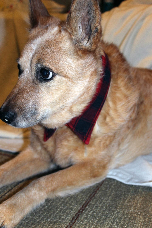 Dog Plaid Shirt Collar