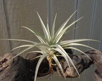 Tillandsia White Star-Ixioides x Rucurvifolia