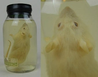 Vintage Taxidermy Wet Specimen White Mouse In A Jar