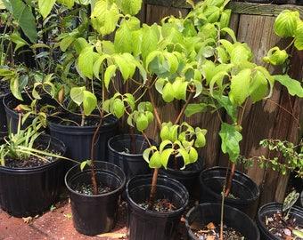 White Flowering Dogwood Tree Luve Plant