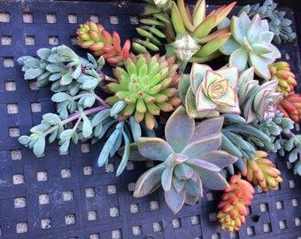 50 Succulent WEDDING Favors, SUCCULENT CUTTINGS, Succulent plants, Succulent Terrarium, Succulent Centerpiece, Colorful Succulents