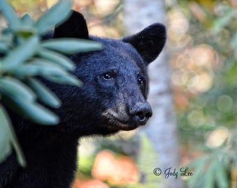 Black Bear, Bear Photography, North Carolina, Wall Art, Nature Photography, Wildlife Photography, Home Decor