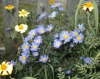 New England Aster, Aster novae-angliae, Blue Flowers, Perennial, 20 Seeds