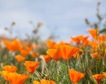 California Poppies Photography, California wildflowers, Wildflower Photography, California Wildflower Art, California Poppy, Pantone Flame,