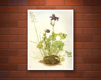 Antique vintage flower botanical art prints, Akelei, columbines watercolor drawing Albrecht Durer, European prints, art posters, floral art