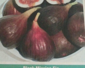 Black Mission Fig Tree Live Plant Fruit Trees Healthy Figs Plants Home Garden Gardening Natural Health Food Grow Your Own Gardens Orchard